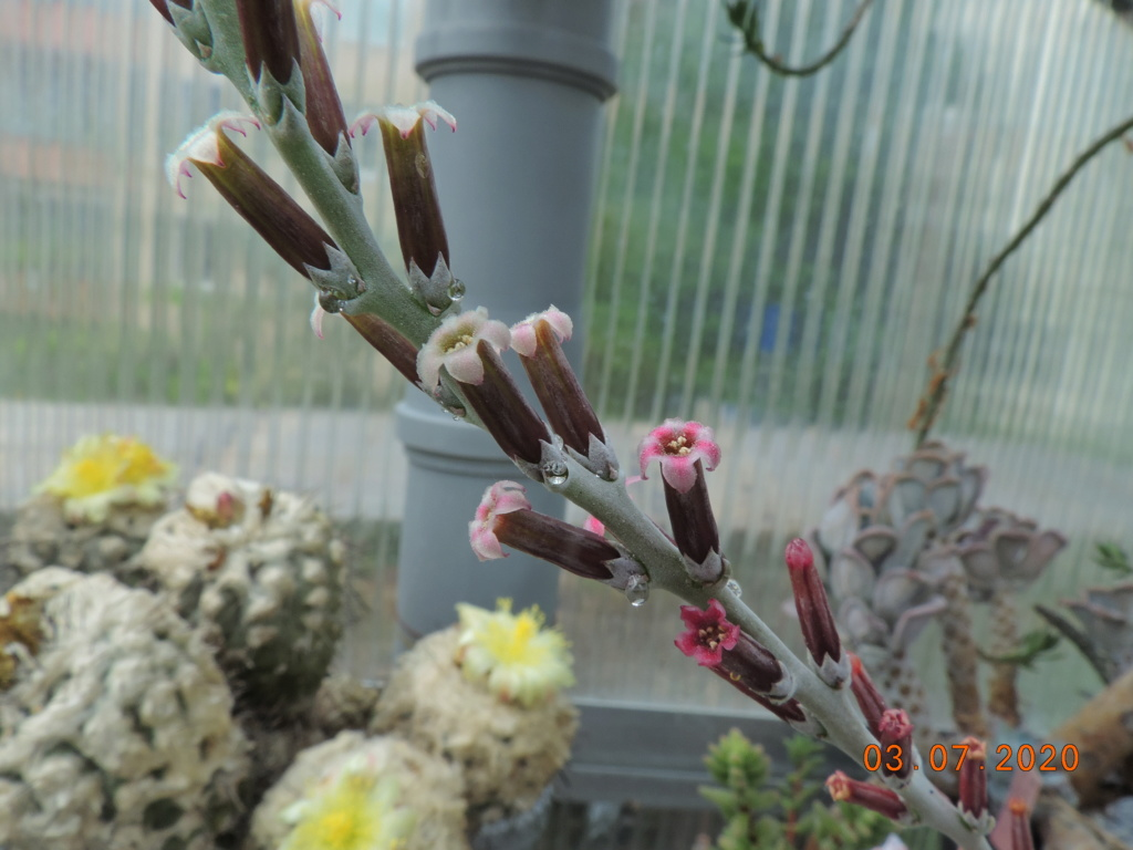 Cacti and Sukkulent in Köln, every day new flowers in the greenhouse Part 237 Bild_119