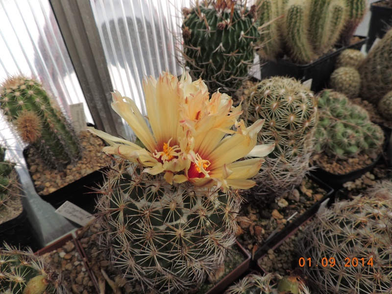 Cacti and Sukkulent in Köln, every day new flowers in the greenhouse Part 117 Bild_156