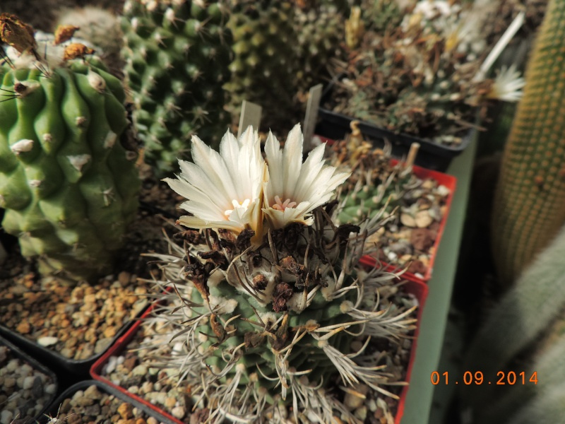 Cacti and Sukkulent in Köln, every day new flowers in the greenhouse Part 117 Bild_159