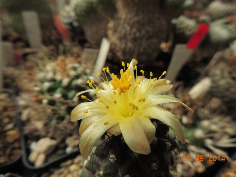Cacti and Sukkulent in Köln, every day new flowers in the greenhouse Part 117 Bild_165