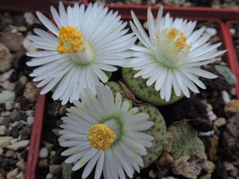 Cacti and Sukkulent in Köln, every day new flowers in the greenhouse Part 118 Bild_190