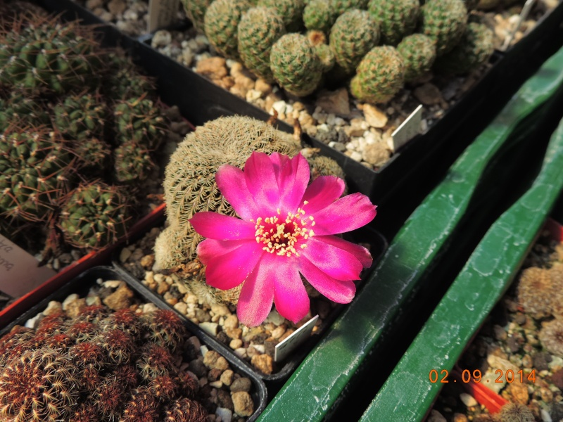 Cacti and Sukkulent in Köln, every day new flowers in the greenhouse Part 118 Bild_199