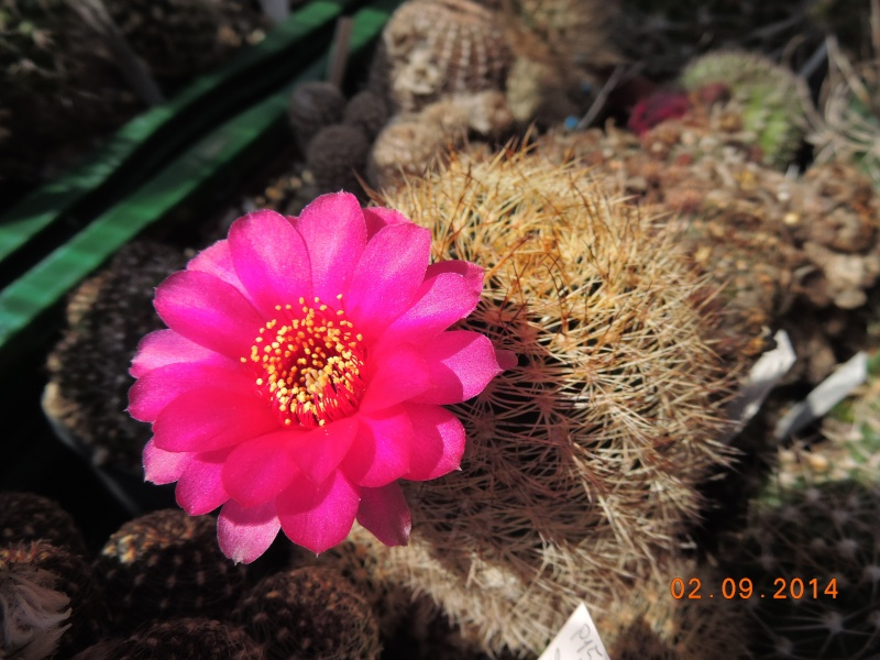 Cacti and Sukkulent in Köln, every day new flowers in the greenhouse Part 118 Bild_216