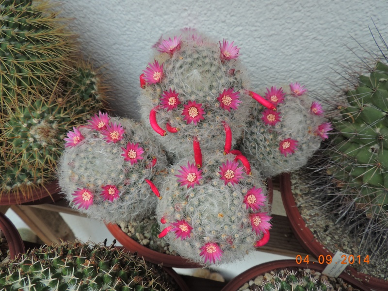 Cacti and Sukkulent in Köln, every day new flowers in the greenhouse Part 118 Bild_218