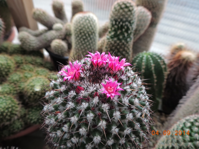 Cacti and Sukkulent in Köln, every day new flowers in the greenhouse Part 118 Bild_222