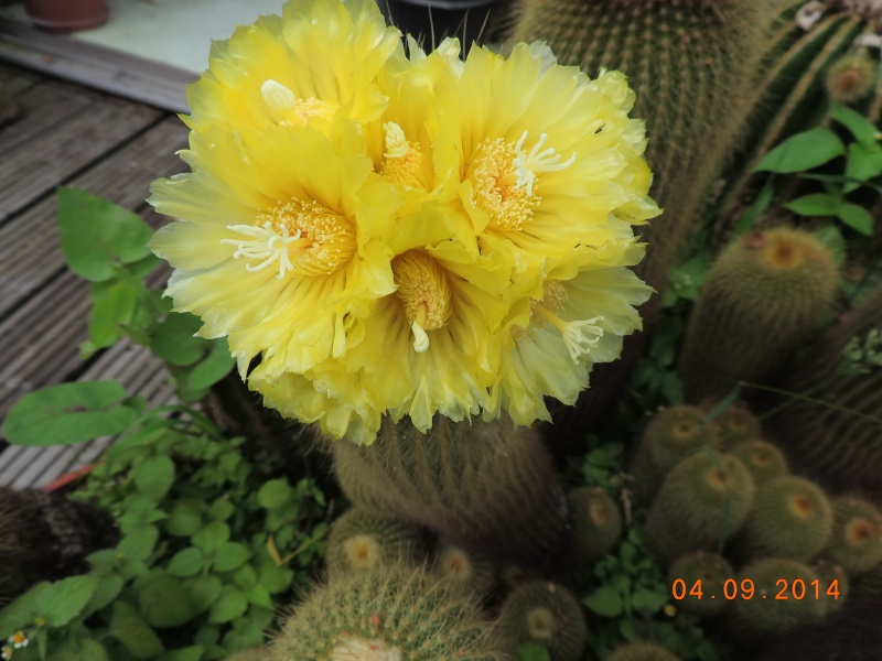 Cacti and Sukkulent in Köln, every day new flowers in the greenhouse Part 118 Bild_223