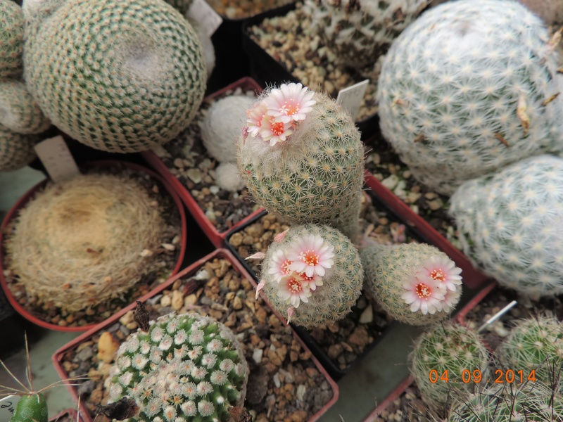 Cacti and Sukkulent in Köln, every day new flowers in the greenhouse Part 118 Bild_225