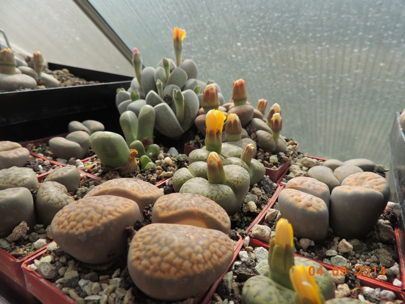 Cacti and Sukkulent in Köln, every day new flowers in the greenhouse Part 118 Bild_235