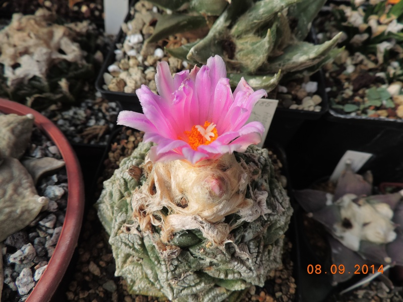 Cacti and Sukkulent in Köln, every day new flowers in the greenhouse Part 118 Bild_250