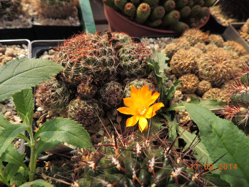 Cacti and Sukkulent in Köln, every day new flowers in the greenhouse Part 118 Bild_291