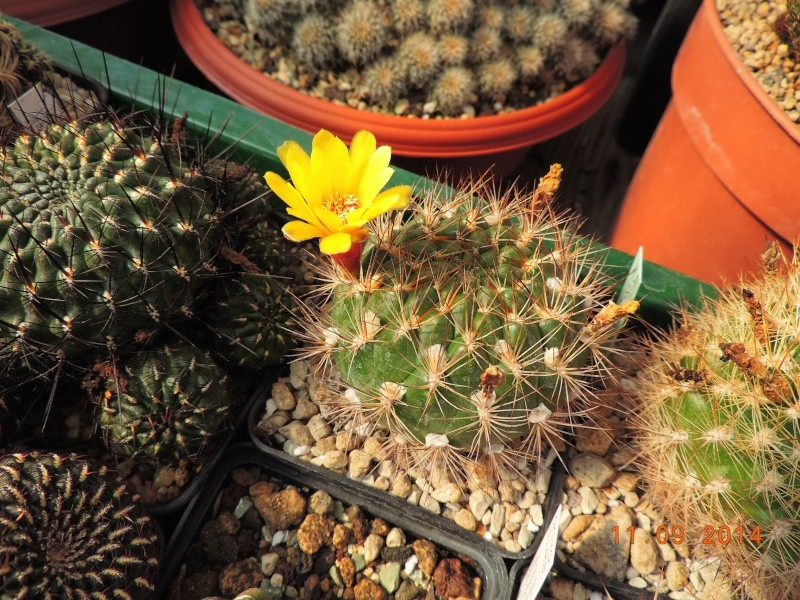 Cacti and Sukkulent in Köln, every day new flowers in the greenhouse Part 118 Bild_294