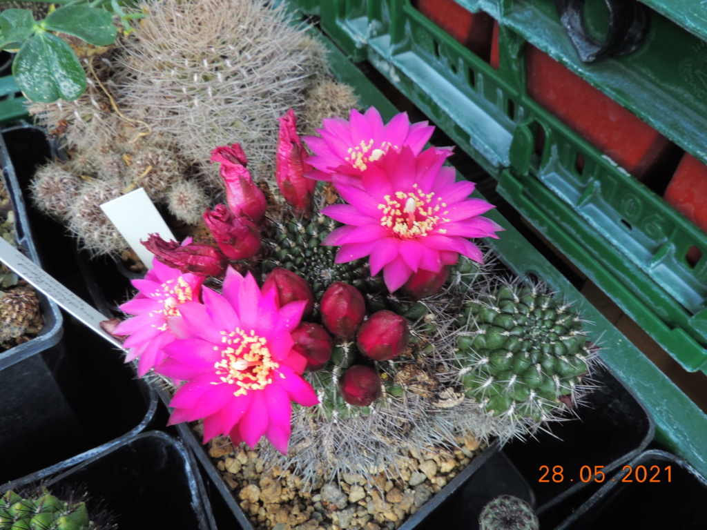 Cacti and Sukkulent in Köln, every day new flowers in the greenhouse Part 260 Bild_301