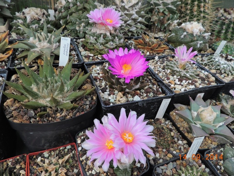 Cacti and Sukkulent in Köln, every day new flowers in the greenhouse Part 119 Bild_334