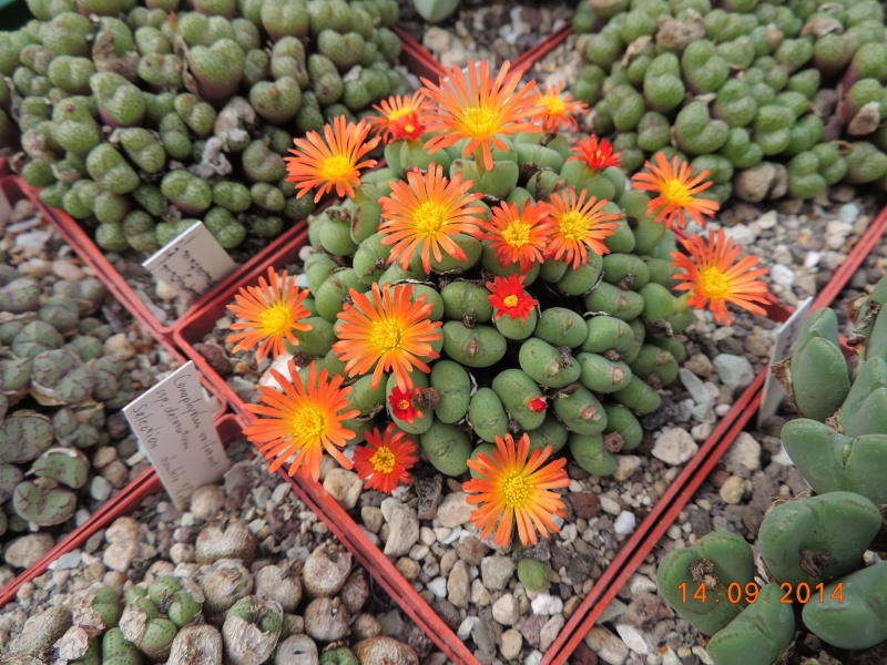Cacti and Sukkulent in Köln, every day new flowers in the greenhouse Part 119 Bild_343