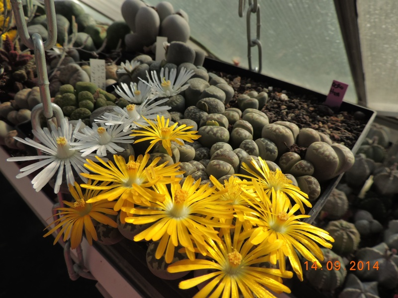 Cacti and Sukkulent in Köln, every day new flowers in the greenhouse Part 119 Bild_348