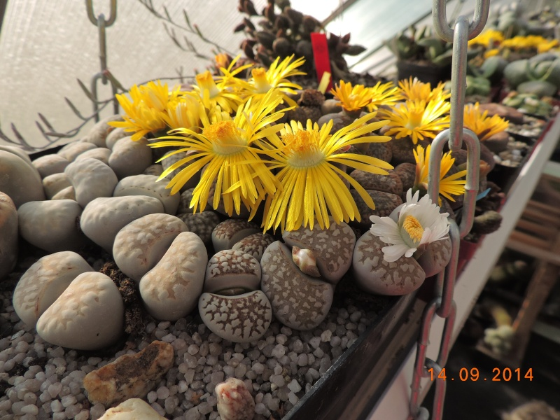 Cacti and Sukkulent in Köln, every day new flowers in the greenhouse Part 119 Bild_351