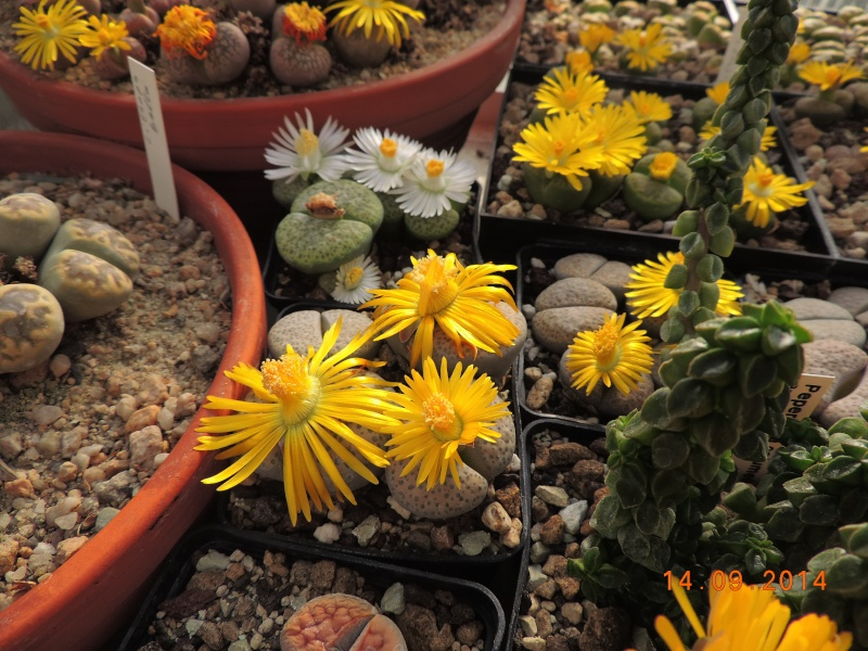 Cacti and Sukkulent in Köln, every day new flowers in the greenhouse Part 119 Bild_355