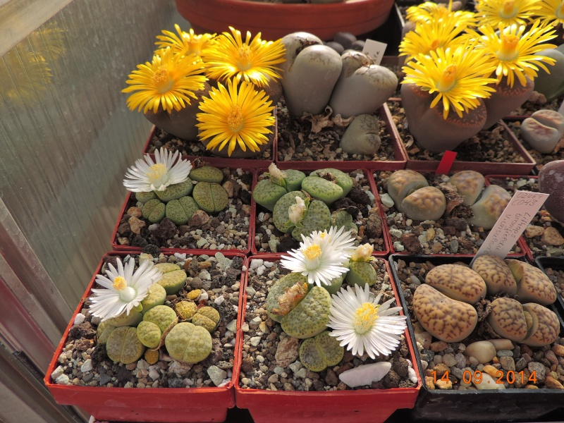 Cacti and Sukkulent in Köln, every day new flowers in the greenhouse Part 119 Bild_356