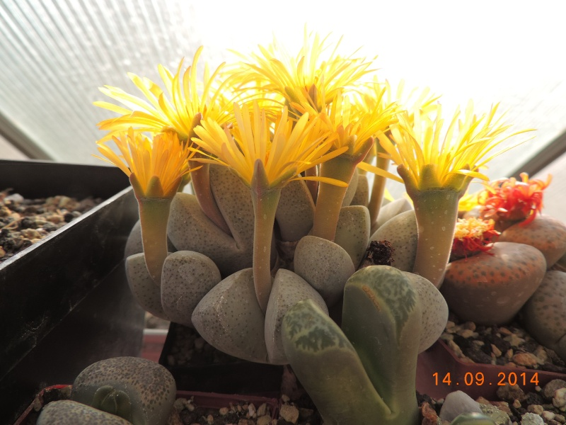 Cacti and Sukkulent in Köln, every day new flowers in the greenhouse Part 119 Bild_357