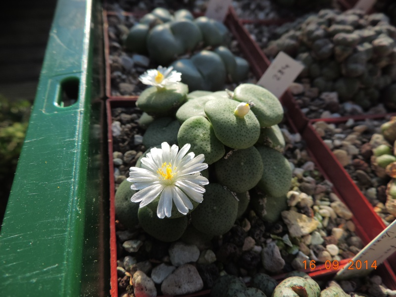 Cacti and Sukkulent in Köln, every day new flowers in the greenhouse Part 119 Bild_362