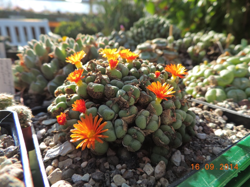 Cacti and Sukkulent in Köln, every day new flowers in the greenhouse Part 119 Bild_365