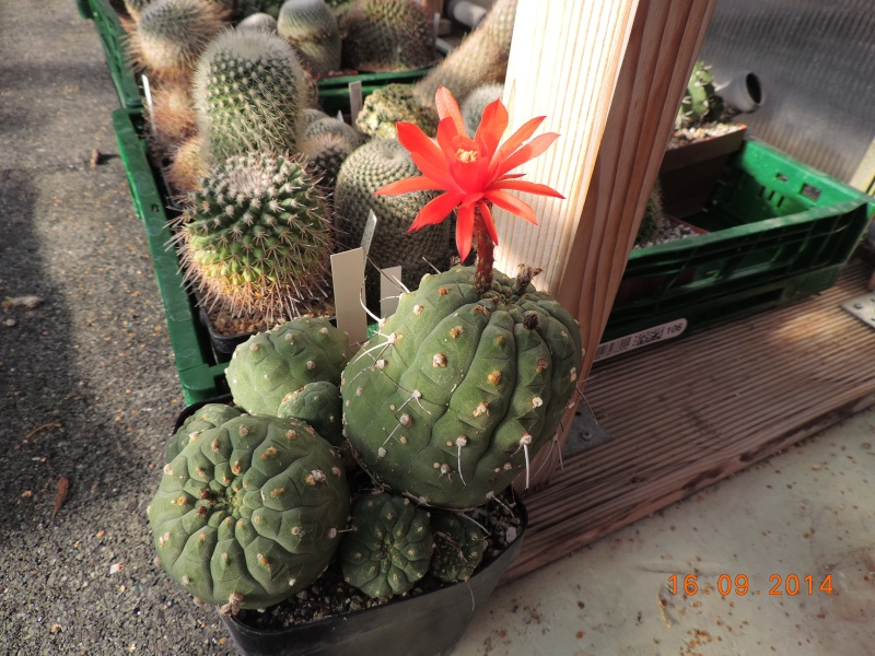Cacti and Sukkulent in Köln, every day new flowers in the greenhouse Part 119 Bild_370