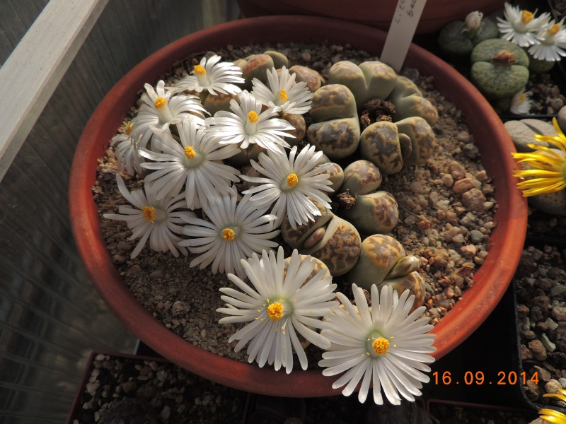 Cacti and Sukkulent in Köln, every day new flowers in the greenhouse Part 119 Bild_373