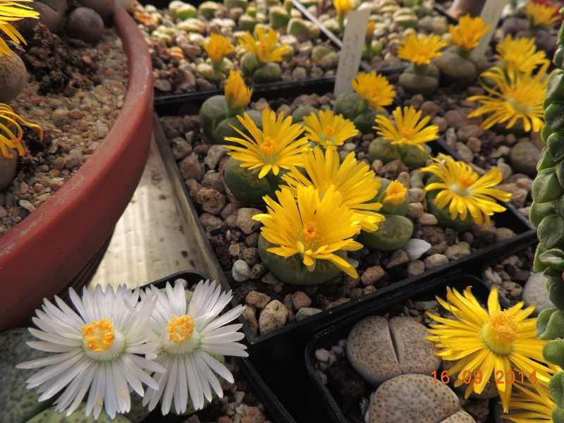 Cacti and Sukkulent in Köln, every day new flowers in the greenhouse Part 119 Bild_374