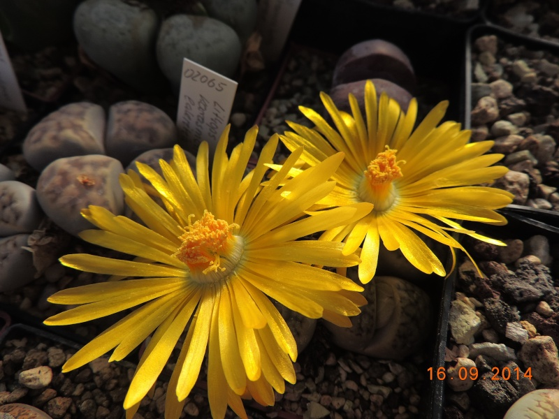 Cacti and Sukkulent in Köln, every day new flowers in the greenhouse Part 119 Bild_375