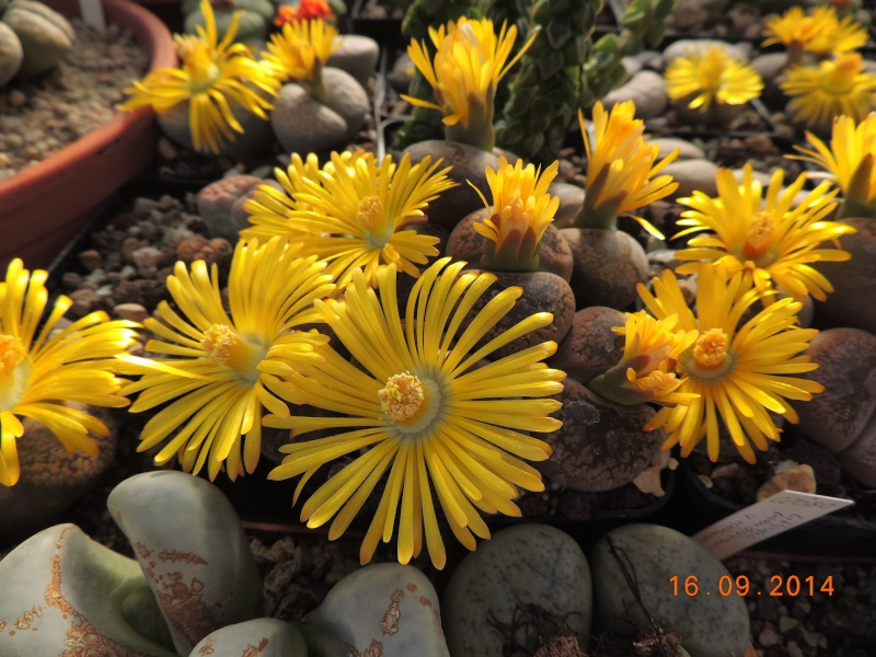 Cacti and Sukkulent in Köln, every day new flowers in the greenhouse Part 119 Bild_376