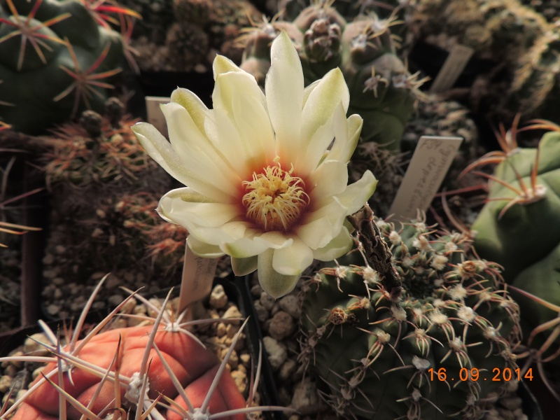 Cacti and Sukkulent in Köln, every day new flowers in the greenhouse Part 119 Bild_382