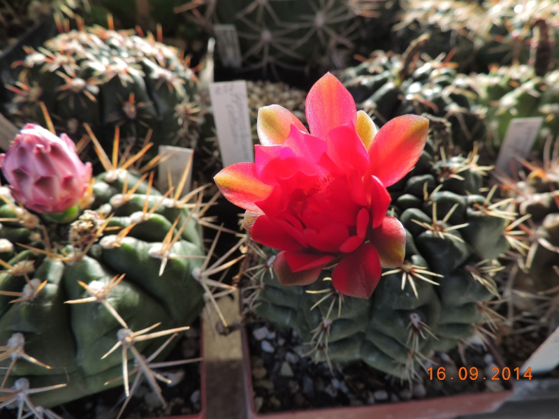 Cacti and Sukkulent in Köln, every day new flowers in the greenhouse Part 119 Bild_383