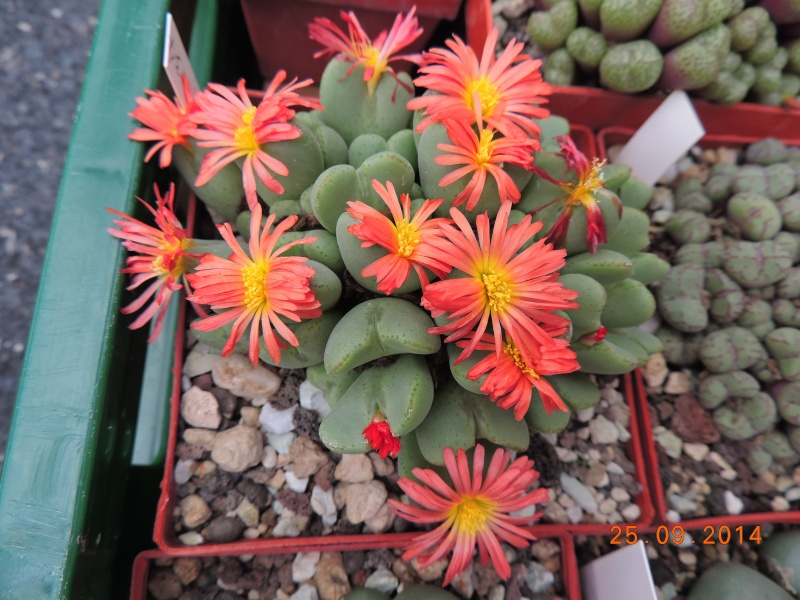 Cacti and Sukkulent in Köln, every day new flowers in the greenhouse Part 119 Bild_389