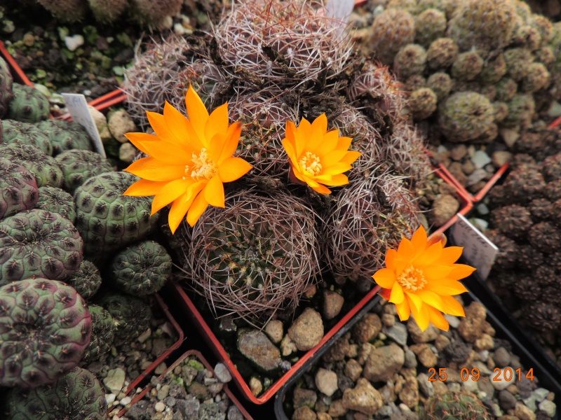 Cacti and Sukkulent in Köln, every day new flowers in the greenhouse Part 119 Bild_404