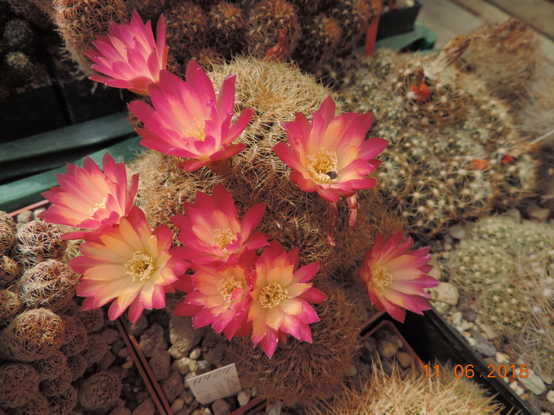 Cacti and Sukkulent in Köln, every day new flowers in the greenhouse Part 195 Bild_458