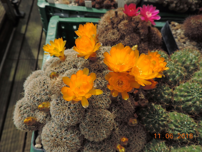Cacti and Sukkulent in Köln, every day new flowers in the greenhouse Part 195 Bild_459