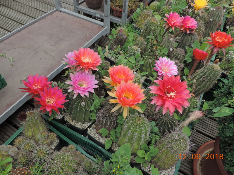 Cacti and Sukkulent in Köln, every day new flowers in the greenhouse Part 195 Bild_461