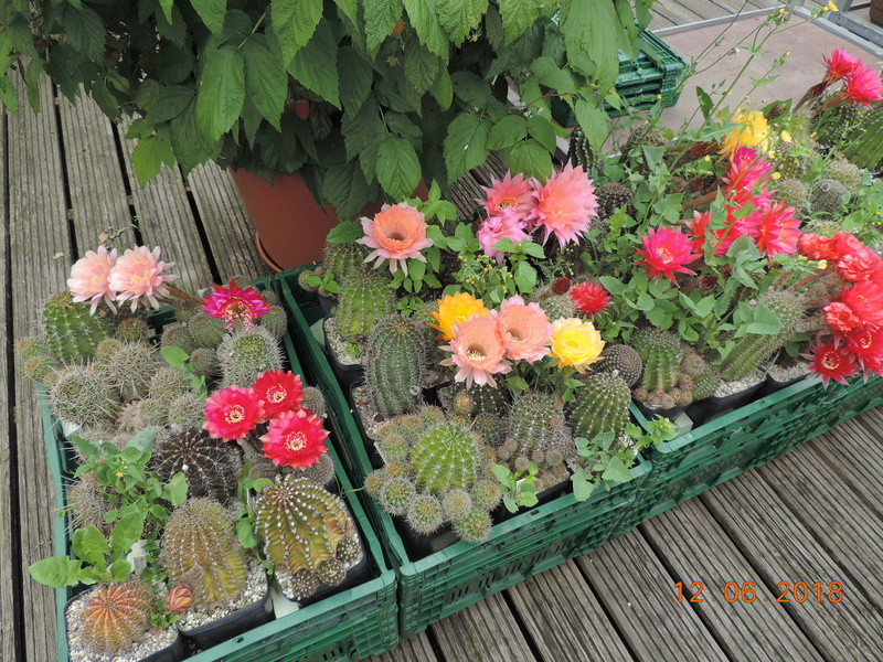 Cacti and Sukkulent in Köln, every day new flowers in the greenhouse Part 195 Bild_462