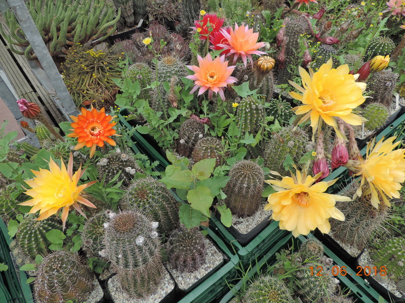 Cacti and Sukkulent in Köln, every day new flowers in the greenhouse Part 195 Bild_463