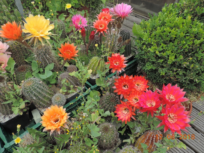 Cacti and Sukkulent in Köln, every day new flowers in the greenhouse Part 195 Bild_465
