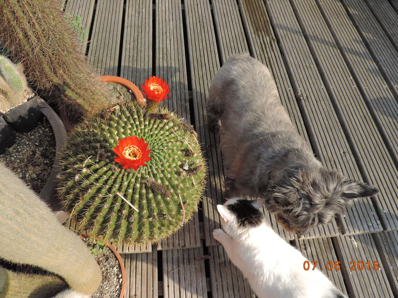 Cacti and Sukkulent in Köln, every day new flowers in the greenhouse Part 195 Bild_466