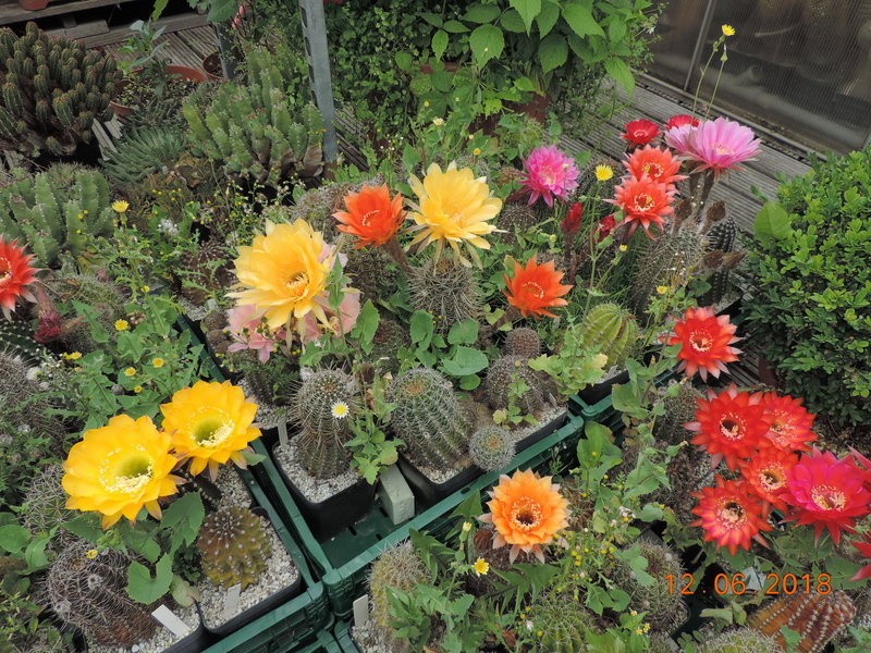 Cacti and Sukkulent in Köln, every day new flowers in the greenhouse Part 195 Bild_468