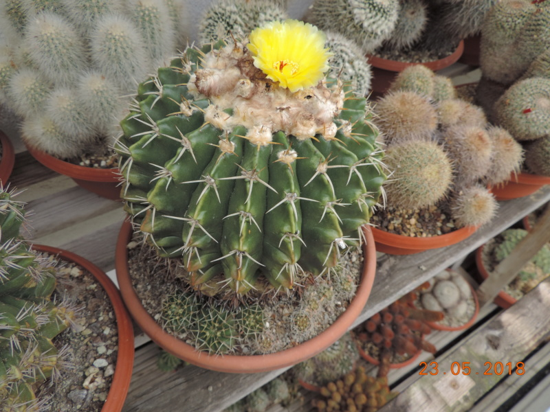Cacti and Sukkulent in Köln, every day new flowers in the greenhouse Part 195 Bild_470