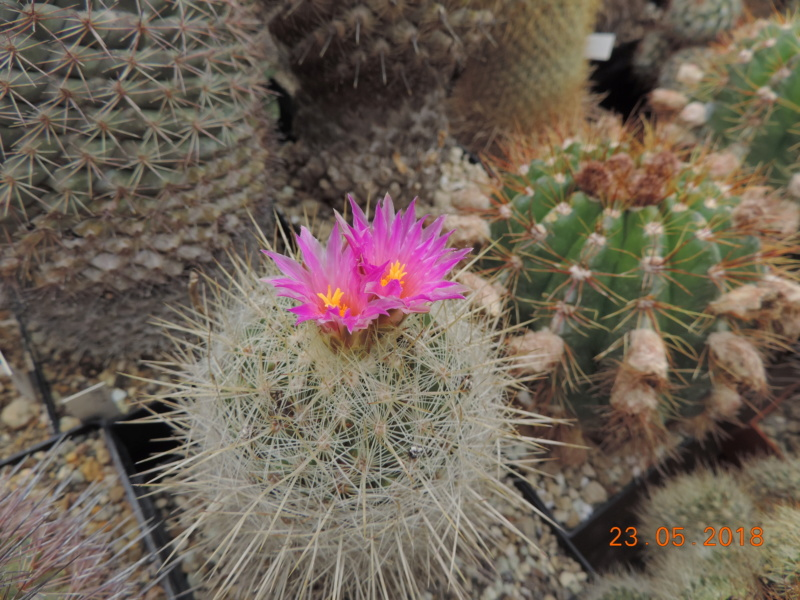 Cacti and Sukkulent in Köln, every day new flowers in the greenhouse Part 195 Bild_473
