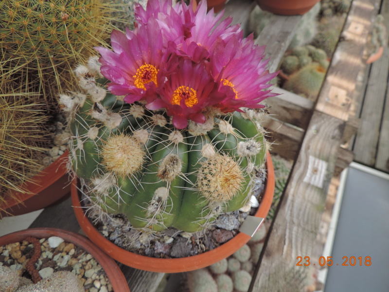 Cacti and Sukkulent in Köln, every day new flowers in the greenhouse Part 195 Bild_474