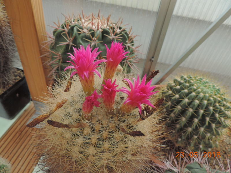 Cacti and Sukkulent in Köln, every day new flowers in the greenhouse Part 195 Bild_477