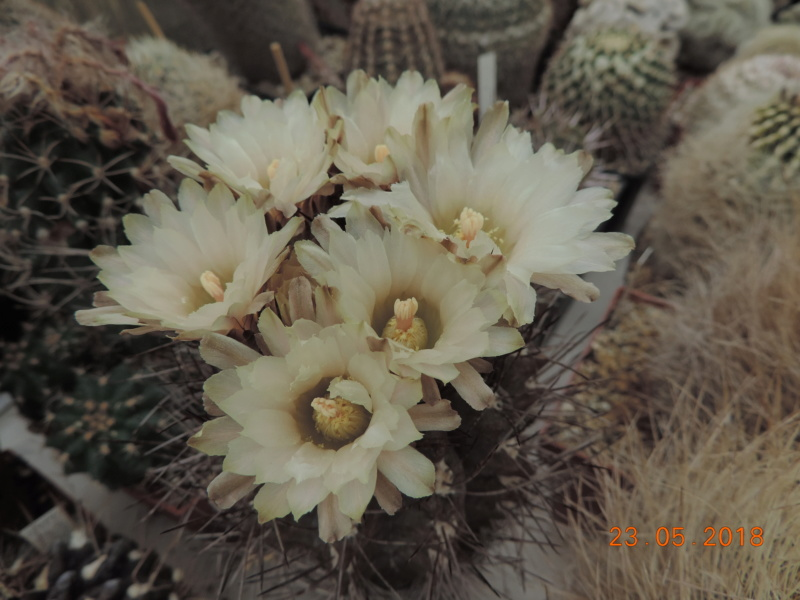 Cacti and Sukkulent in Köln, every day new flowers in the greenhouse Part 195 Bild_478