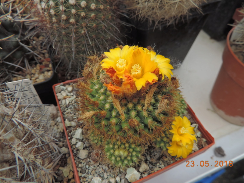 Cacti and Sukkulent in Köln, every day new flowers in the greenhouse Part 195 Bild_480