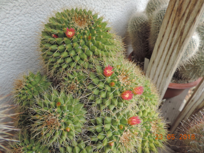 Cacti and Sukkulent in Köln, every day new flowers in the greenhouse Part 195 Bild_482