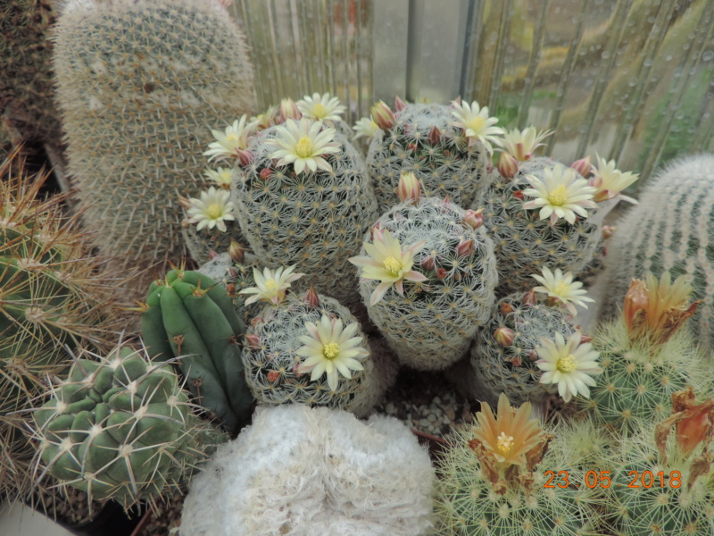 Cacti and Sukkulent in Köln, every day new flowers in the greenhouse Part 195 Bild_498